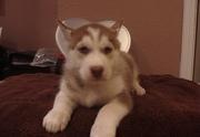 lovely husky for sale